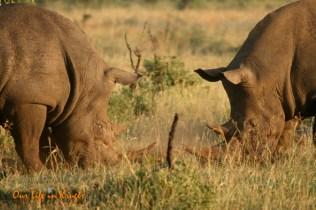 Rhinos at war