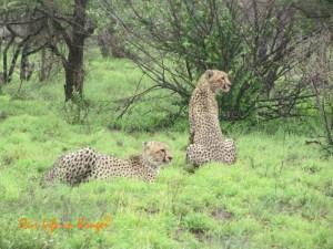 Kruger in Flood, three cheetah on a kill