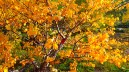 Yellow-leafed birch tree