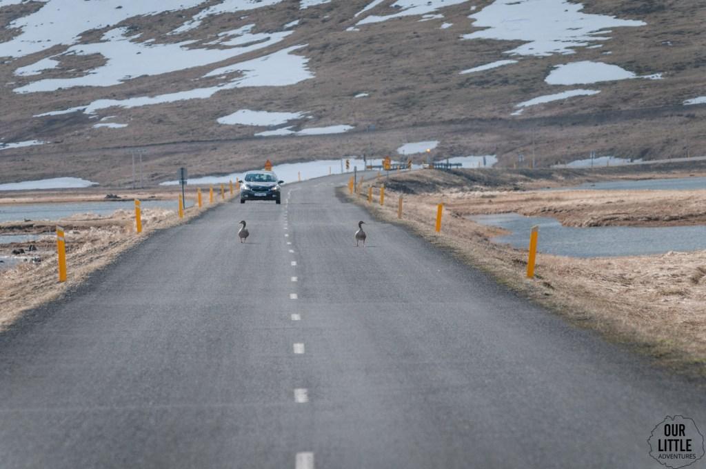 Gęsi na główej drodze na fiordach Zachodnich