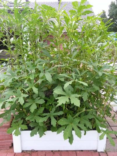 okra garden 3