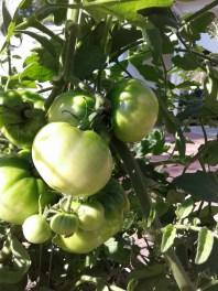 tomatoes-in-november