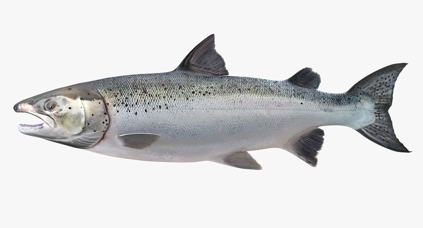 Salmon Characteristics Types Properties And More