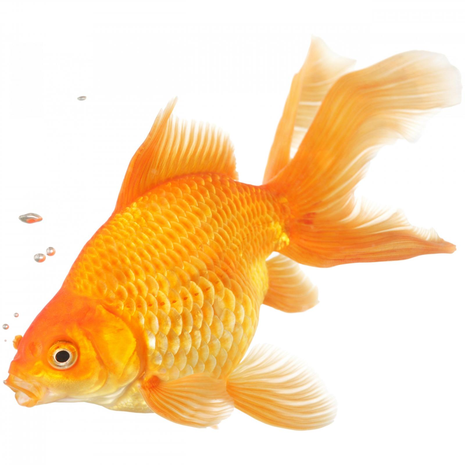 Goldfish Characteristics Habitats Types And More