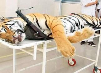 T1 tigress Avni नागपुर
