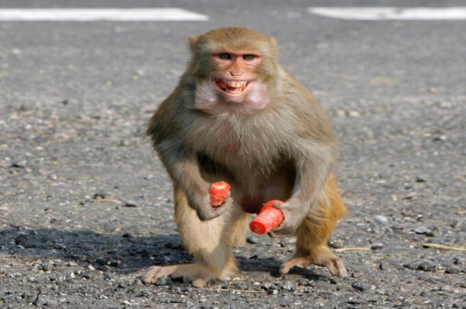 माकडांच्या टोळक्यांचा धुमाकूळ, आठ जणांना घेतला गंभीर चावा
