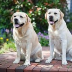 Dogs can be trained to detect 90% of Covid-19 infections, even Asymptomatic: Study