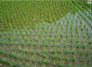 लुप्तप्राय झालेल्या धानाच्या प्रजातींपैकी ६० प्रजाती तब्बल ५० वर्षांनंतर मातीवर उगवणार