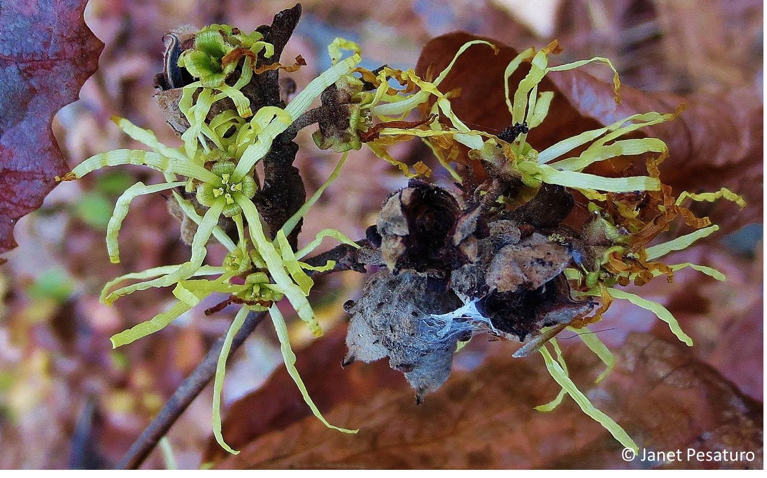 Witch Hazel Flowers Fruit Capsules And Reproductive