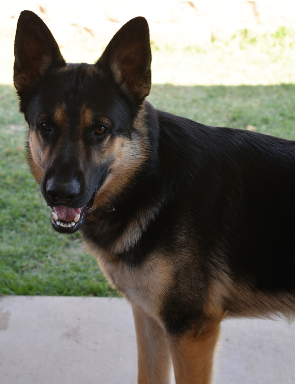 German Shepherd Male 1 year old