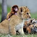 A baby monkey and a lion cub play at Guaipo Manchurian Tiger Park in Shenyang, China