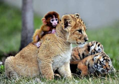 A baby monkey playing with a lion cub at Guaipo Manchurian Tiger Park in Shenyang, China