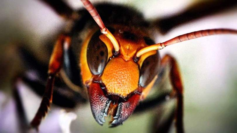 Japanese giant hornet has scissor-like teeth