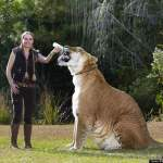 Hercules, the liger: World's Largest Living Cat (video)
