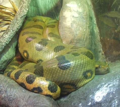 Largest snakes of the world: Green anaconda (Eunectes murinus)