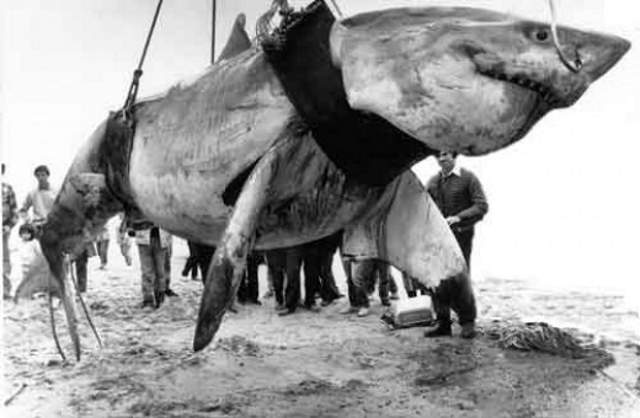 The great white shark caught by Vic Hislop in 1985