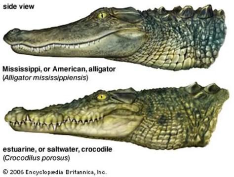 Alligator and Crocodile - teeth placement