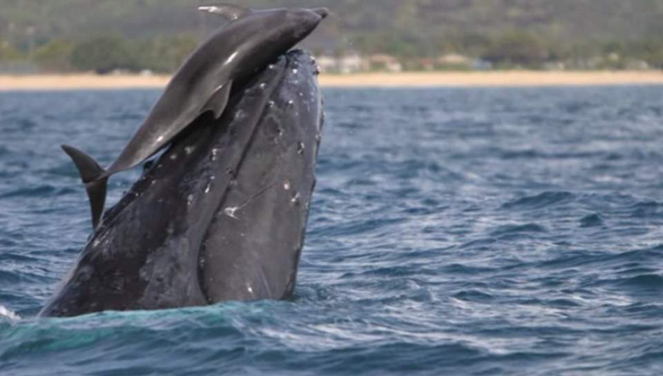 A bottlenose dolphin rides a humpback whale in Hawaii coast