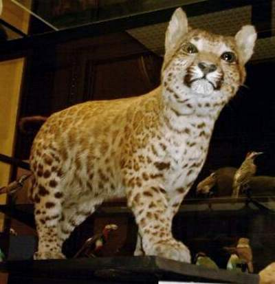 Hybrid big cats - Pumapard (Rothschild Museum)