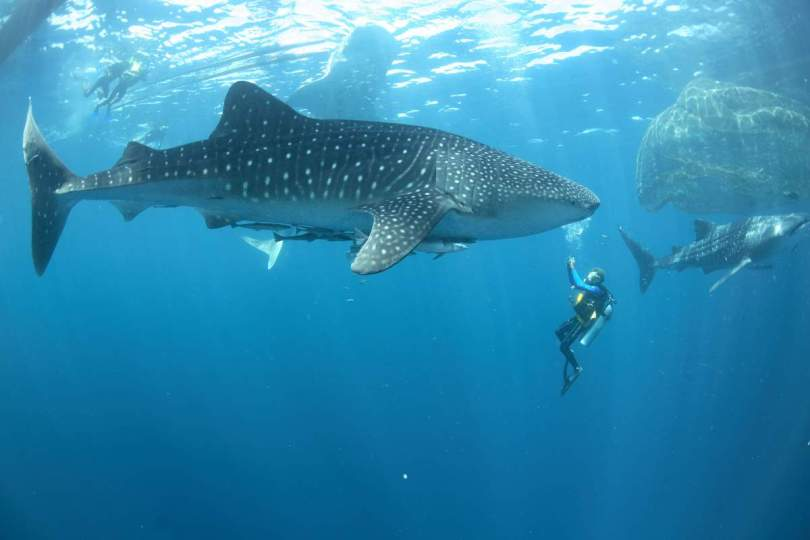 Whale shark and divers