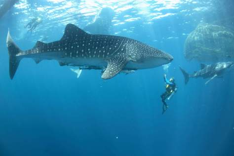 Largest fish in the world: Whale shark