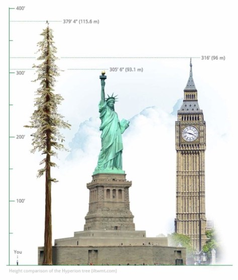 Height comparison of Hyperion - the highest tree in the world