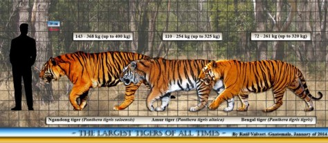 Largest prehistoric mammals - Ngangong tiger size comparison