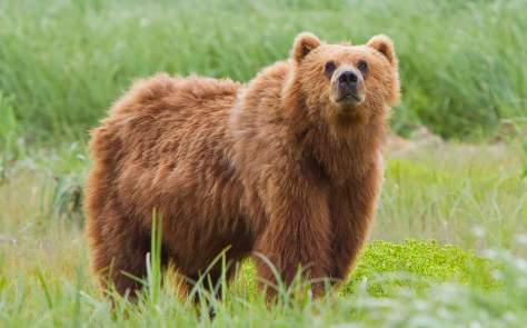 Most powerful bite forces in carnivore land mammals - Kodiak Bear