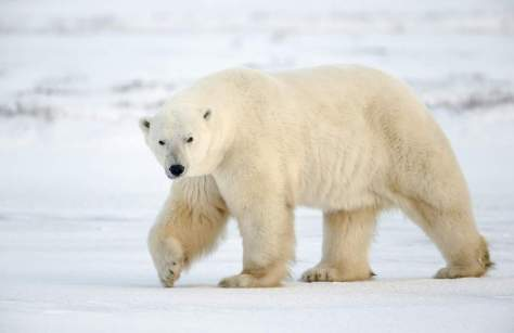 Most powerful bite forces in carnivore land mammals - Polar Bear