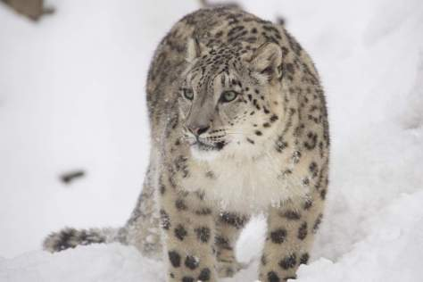 Most powerful bite forces in carnivore land mammals - Snow Leopard