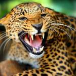 Top 22 most powerful bite forces in carnivore land mammals