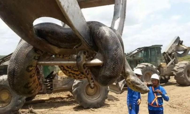 33-feet long Brazil anaconda