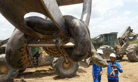 33-feet (10-meter) long Brazil anaconda