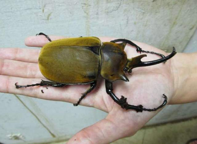 San Antonio Zoo Elephant Beetle