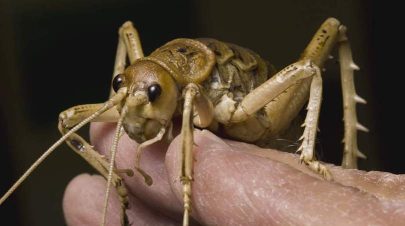 Giant Weta, the heaviest insect on Earth