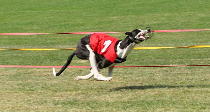 Greyhound running in a race