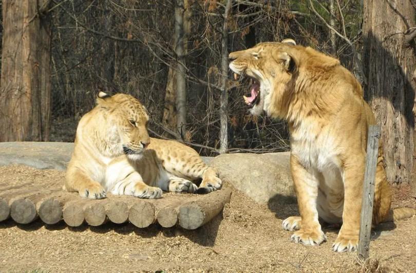 A liger couple