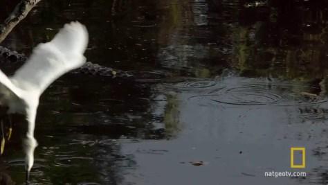 Gator Uses Bait Stick to Catch Egrets - 1