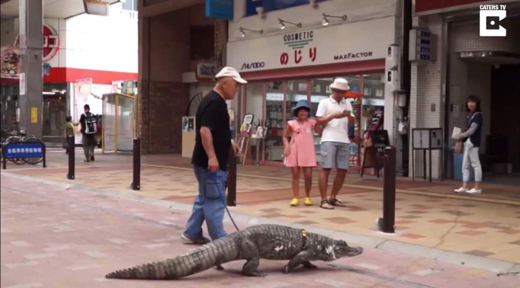 Japanese man walks with caiman