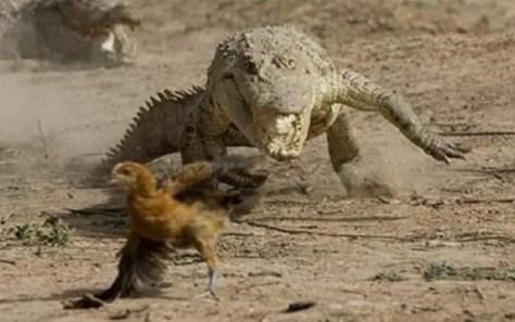 Crocodile pursuing a chicken