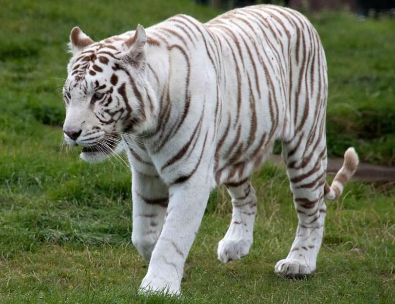 A captive white tiger