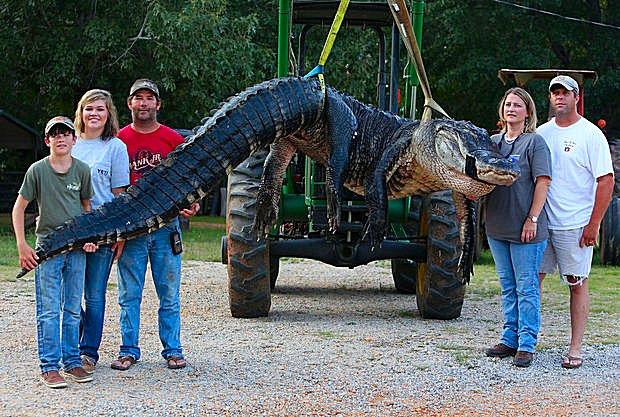 Alabama Gator 2
