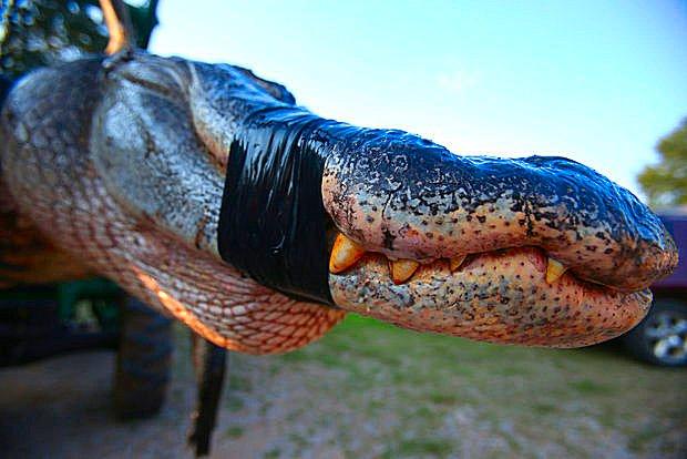 Alabama Gator 3