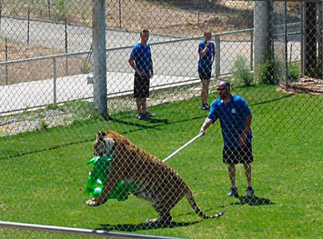 Tiger Splash 7