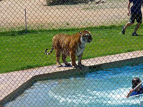 Tiger Splash 9