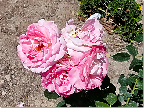 Callender's Roses 2