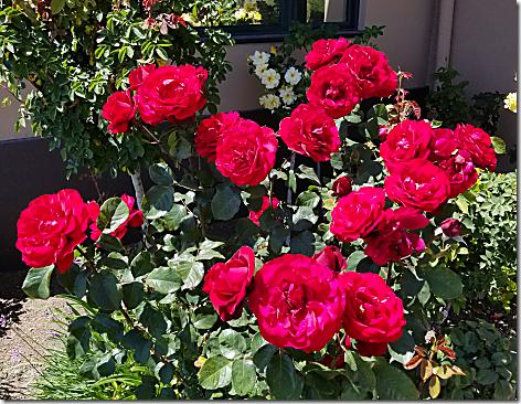 Callender's Roses