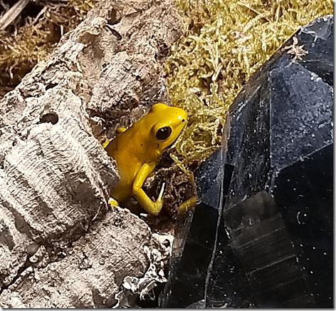 Reptile Gardens Gold Poison Frog
