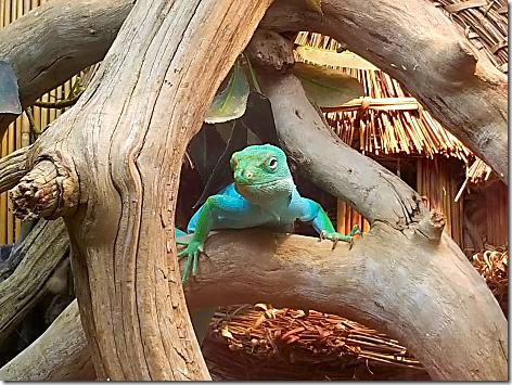 Reptile Gardens Iguanda