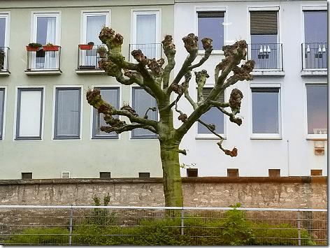 Wurzburg Burled Tree